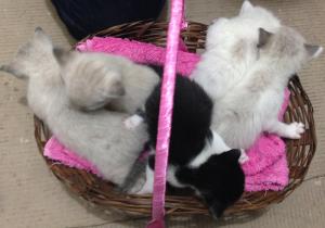 cesta-de-gatos