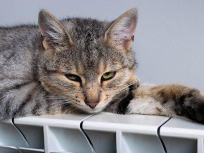 gato incomodado com calor